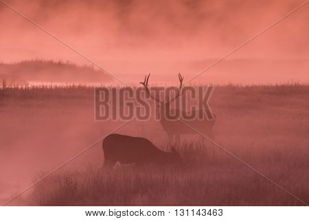 a rutting bull elk with a cow in a foggy meadow