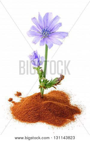The chicory (succory) flower and powder of instant chicory.Isolated on white background.