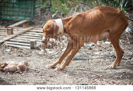 Stray skinny dog carries her puppies in the mouth