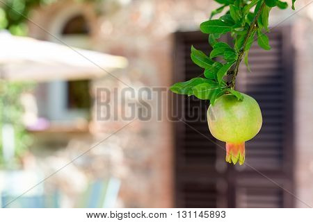 Pomegranate Fruit - hanging from a tree in front of a de-focused background. Traditional Mediterranean fruit with earthen tones in the background.