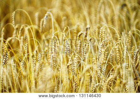 close up view of of wheat crops plant endless