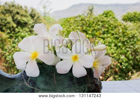 Beautiful Fresh Flower White Plumeria Or Frangipani In Green Vase With Nature View Background