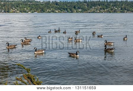Canada Geese paddle on the water at Seward Park in Seattle Washington.
