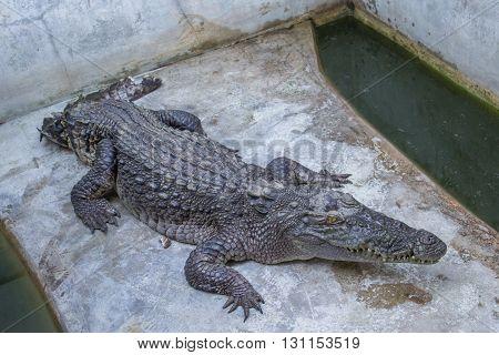 Crocodile on the concrete floor in farm,Thailand