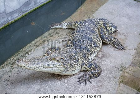 Crocodile on the concrete floor in farm, Thailand