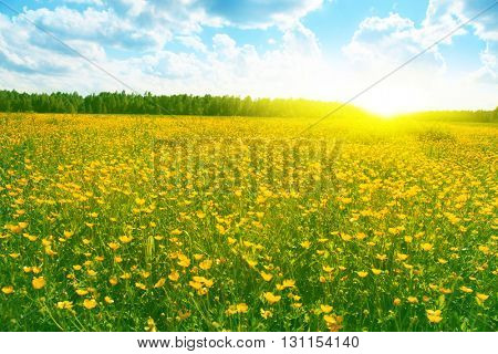 Field of spring flowers,blue sky and sun.