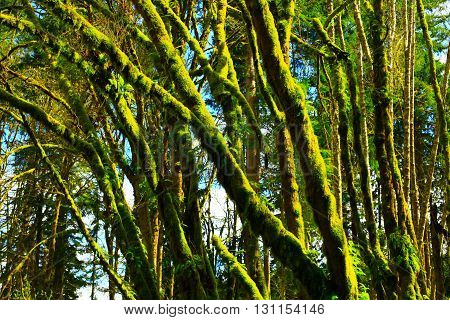 a picture of an exterior Pacific Northwest mossy maple tree grove in winter