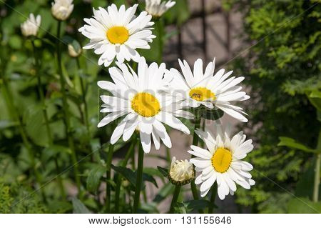flowers of white big daisies in a garden