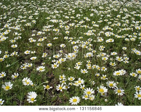 Glade of blossoming daisies (camomile ore chamomile) .