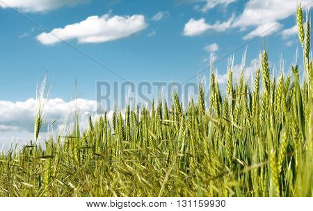 Spikes of green wheat on a background of blue sky