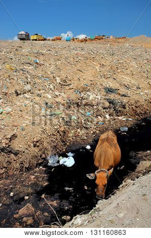 As garbage trucks dump trash, a cow drinks contaminated water from a polluted river next to hazardous, toxic waste at the biggest and most polluted landfill site on the holiday resort island of Bali, Indonesia.