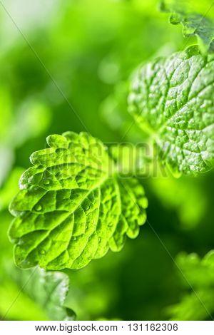 Green fresh melissa