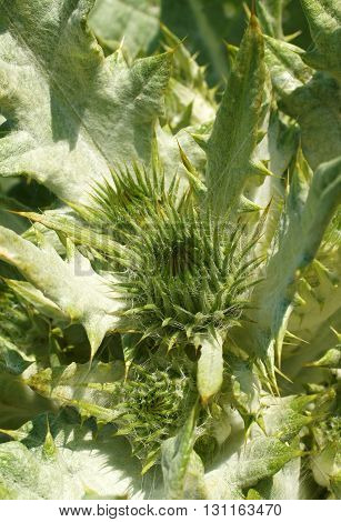 Unblown buds and prickly leaves of scotch thistle (Onopordum acanthium) medical plants