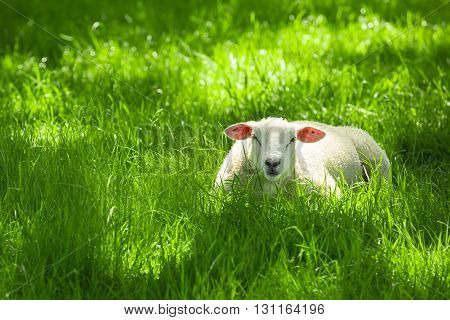 The sheep (Ovis aries) is a quadrupedal, ruminant mammal typically kept as livestock.