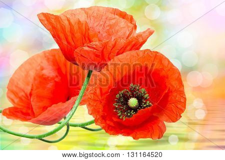 Close up of beautiful red poppy wildflower