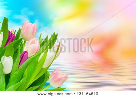 Close up of fresh beautiful tulip flowers
