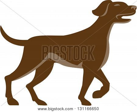 Illustration of an english pointer dog pointing up in a pointer stance with head up tail out and one foot slightly raised set on isolated white background viewed from the side done in retro style.