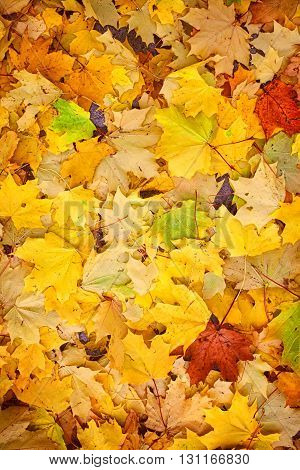 Natural background with colorful fallen autumn leaves