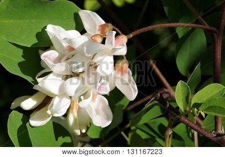 Black Locust flowers (Robinia pseudoacacia) blooming in spring