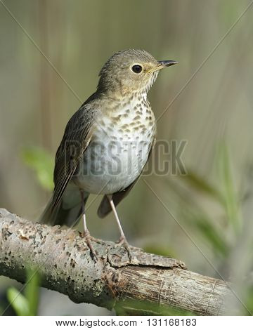Swainson's Thrush Perched In A Tree - Ontario, Canada