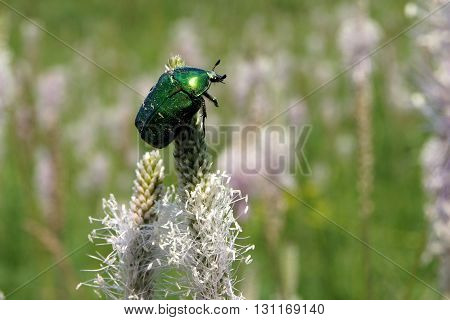 Rose chafer (Cetonia aurata) beetle collects pollen on a ribwort plantain flowers (Plantago lanceolata)