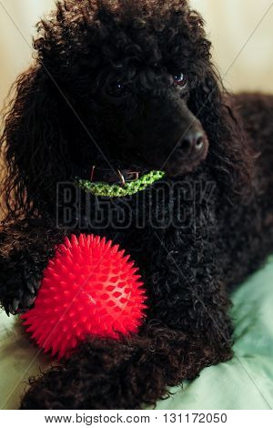 Black poodle lying on the couch with a red ball