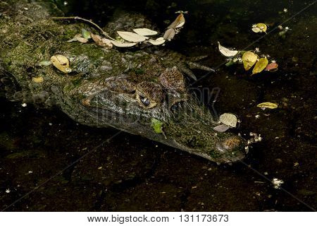 High angle close up shot of quiet caiman on the water at historic park zoo in Guayaquil Ecuador