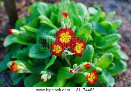 One of the varieties of primroses. Spring