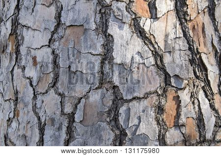 The bark of a pine with cracks close up
