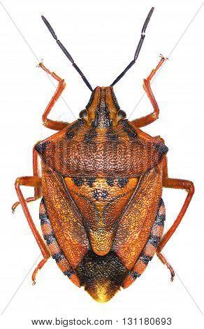 Red shield bug on white Background  -  Carpocoris mediterraneus (Tamanini, 1959)