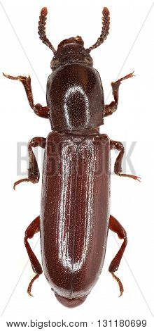 Darkling Beetle Corticeus on white Background  - Corticeus unicolor  (Piller & Mitterpacher 1783)