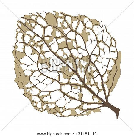 hydrangea half-decayed leaf, isolated on white background