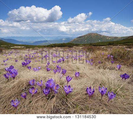 First spring flowers. Mountain landscape with blossoming crocuses in the meadow. Sunny day with blue sky and cumulus clouds. Carpathians, Ukraine, Europe