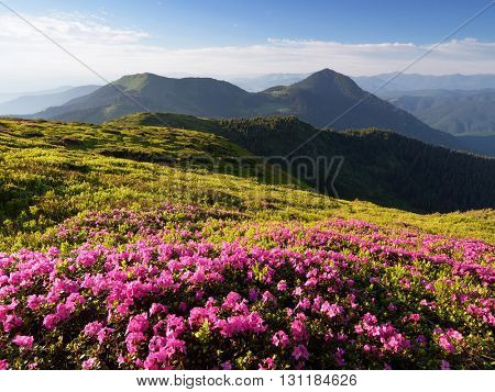 Summer landscape. Pink flowers in the mountains. Blooming Rhododendron in a glade. Beauty in nature. Sunny day. Carpathians, Ukraine, Europe