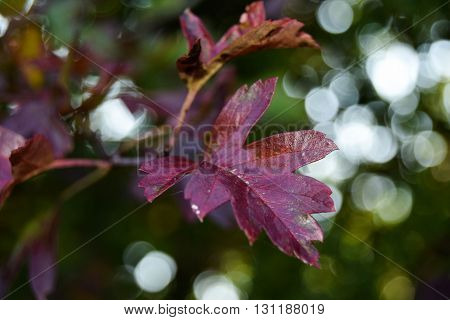 Red shiny leaves against light orbs in a field