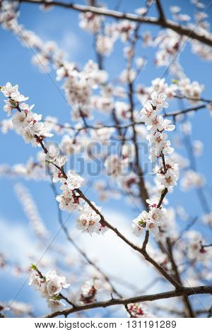 Blossom white apricot tree branch blue sky on background, soft focus