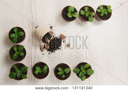 Sprouts indoor plants in pots. Gardener hand sprout table. Indoor plant at workplace in top view with copy space. Scattered ground. Light wooden table. Flower pots in a row.