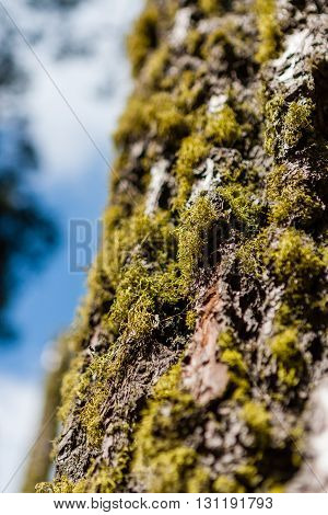 Tree Trunk With Moss And Tree Lichen