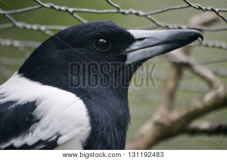 this is a close up of a butcher bird