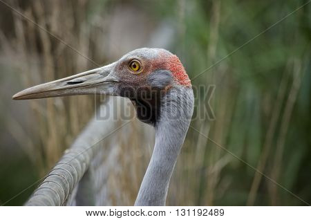 this is a close up of a brolga