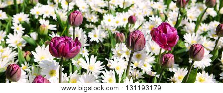 White daisy field background.White daisy field and purple tulips .