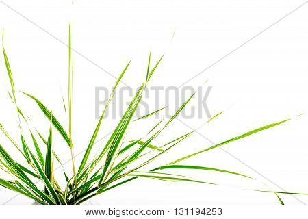 Leaves of a decorative sedge on a white background. Fragment copyspase on the right isolated