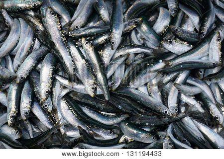 Fresh sardelas fish on ice. Bakground, texture.