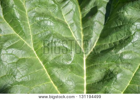 Close up of rhubarb leaf texture (Rheum rhabarbarum)