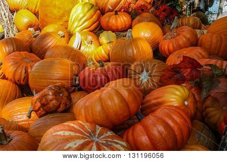 Pumpkin patch multi colored and various sizes and shapes