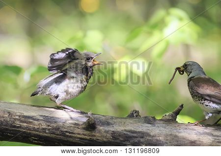 bird Blackbird brought his chick to eat a worm
