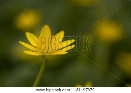 Flower of Lesser Celandine (Ranunculus ficaria) flowering