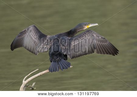 Great Cormorant (Phalacrocorax carbo) drying it's feathers with spread wings on a branch above the water
