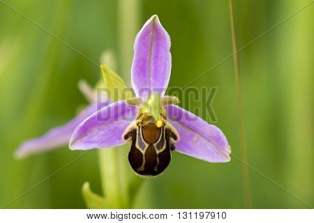 Flower of Bee Orchid (Ophrys apifera) flowering