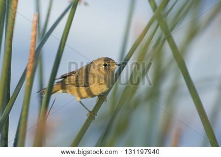Common Chiffchaff (Phylloscopus collybita) perched on reed